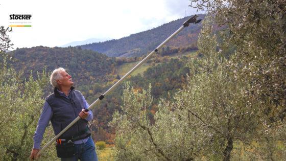 Thumbnail: Olivo: potatura agevolata e semplificata