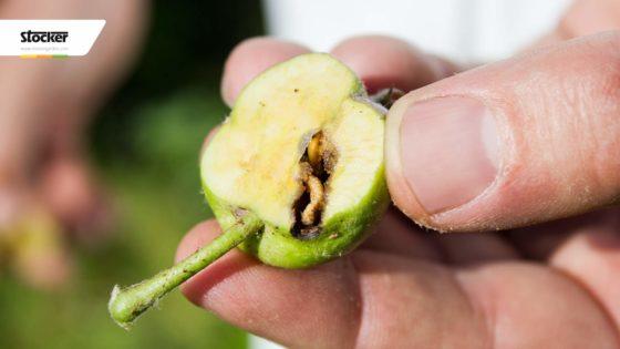 Thumbnail: Verme del melo – trattamenti biologici