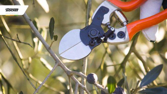 Thumbnail: Potare l'olivo - descrizione della pianta dell'olivo