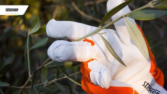 Thumbnail: Potare l'olivo - 4 errori principali