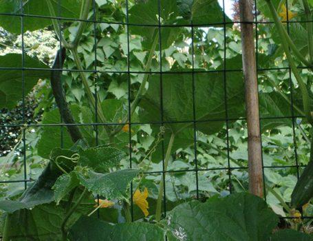 Pianta di cetrioli