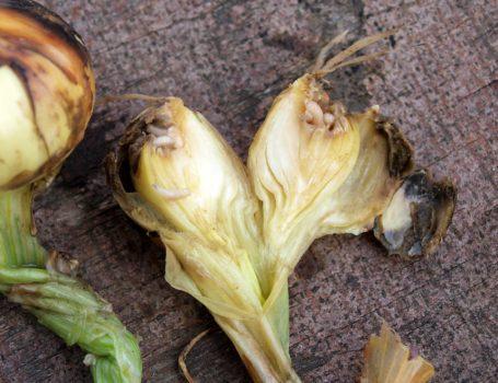 Cipolle danneggiate da larve