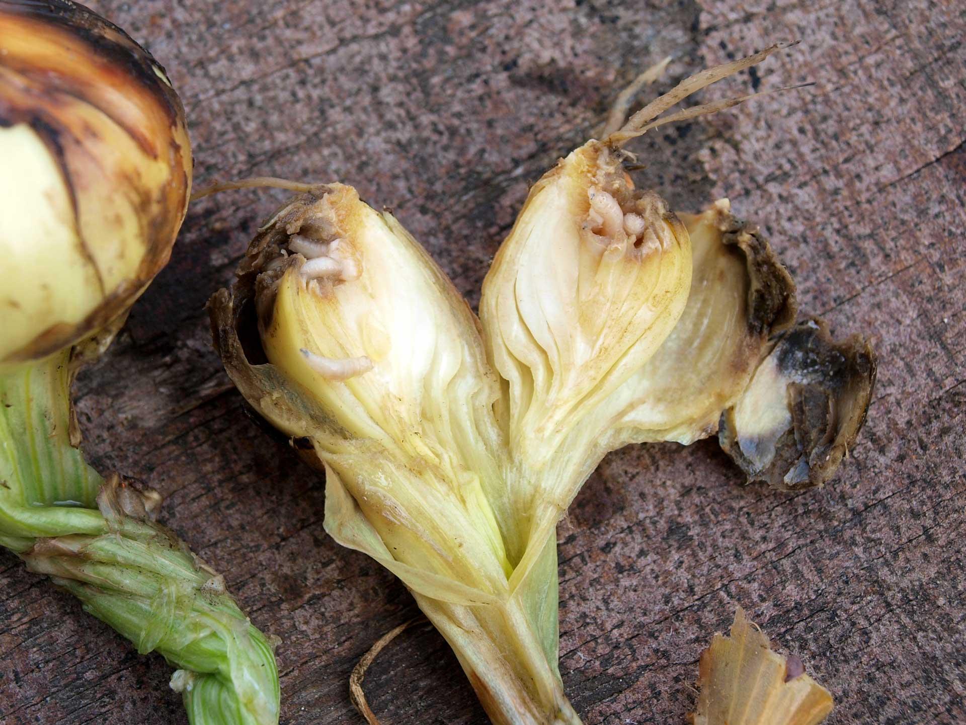 Foto: Sorghetta con rizoma carnoso
