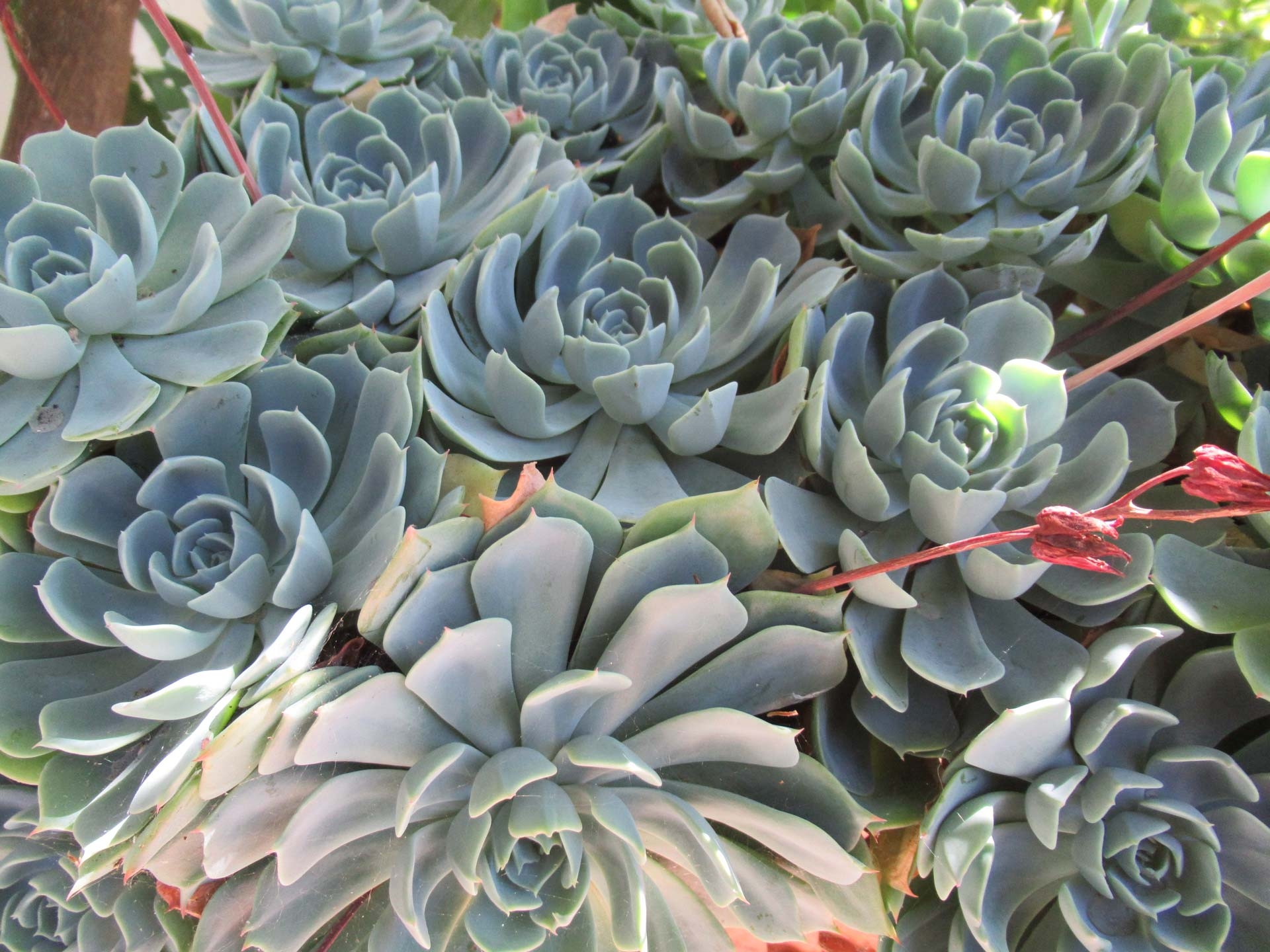 Piante Adatte Al Sole Diretto l'echeveria, graziosa succulenta - stocker garden