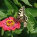 Farfalla su zinnia