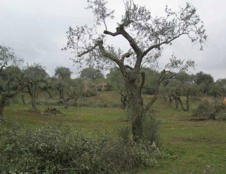 Riforma periodica dell'olivo con bruciatura dei residui di potatura.