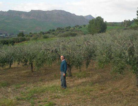 Giovani olivi resi acefali