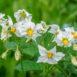 I fiori delle patate