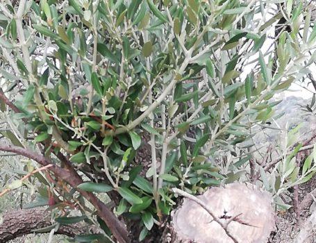 Germogli avventizi nati da gemme latenti, in  seguito al taglio della branca su olivo.