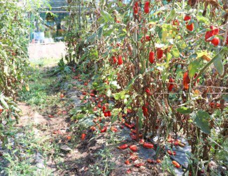 Pomodori caduti dalla pianta