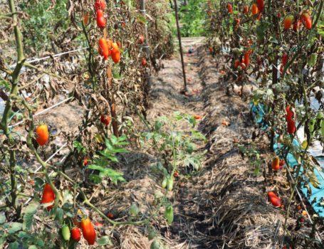 Piante di pomodori secche