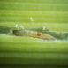 Larva della mosca della cipolla