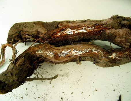 Marciume al colletto da Armillaria