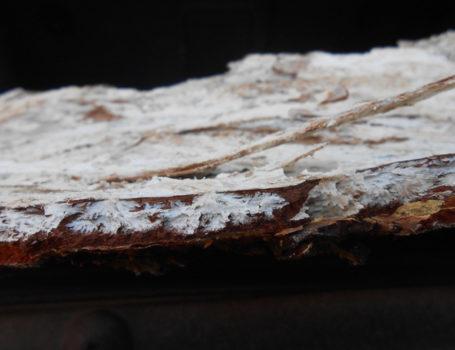 Micelio di Armillaria sotto la corteccia