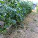 Pacciamatura con uno strato di sfalci di erba