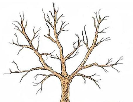 Schema della forma a vaso con tronco alto 80-90 cm e 3 branche principali