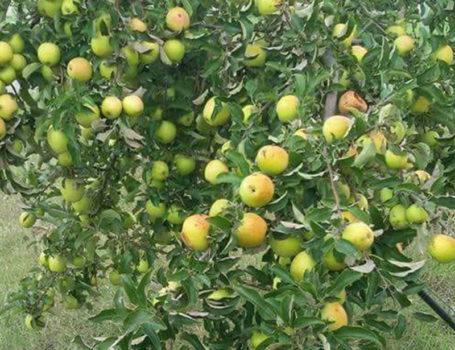 Carico di mele eccessivo
