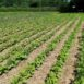 Coltivazione di fagioli con pacciamatura di paglia