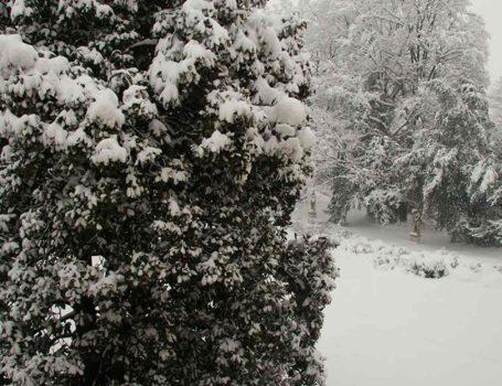 Dagli arbusti sempreverdi è bene scuotere via la neve