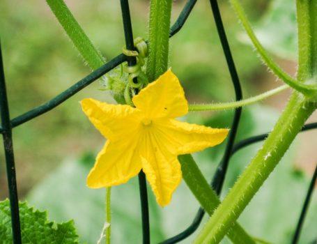 Fiore del cetriolo
