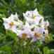 Il fiore della pianta di patate