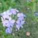 Fiore di Plumbago