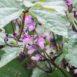 Fiori di fagiolini viola