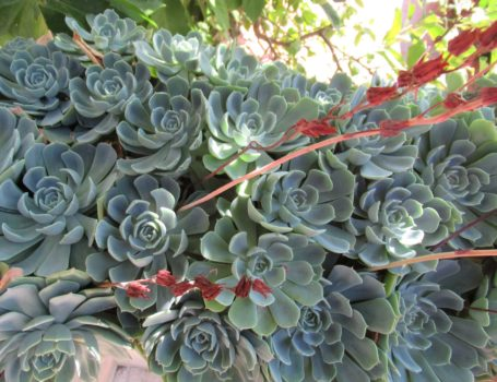 Foglie e fiori di Echeveria