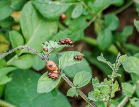 Larve di dorifora su pianta di patate
