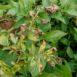 Peronospera su pianta di patate