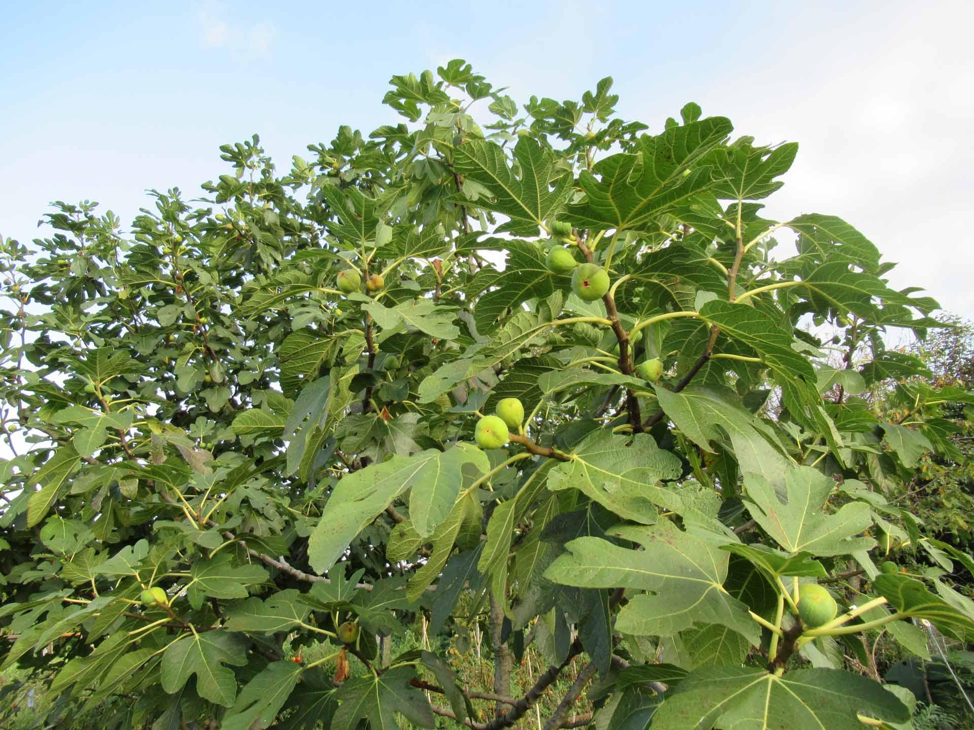 Avversità Delle Piante Coltivate attenzione al punteruolo nero del fico - stocker garden