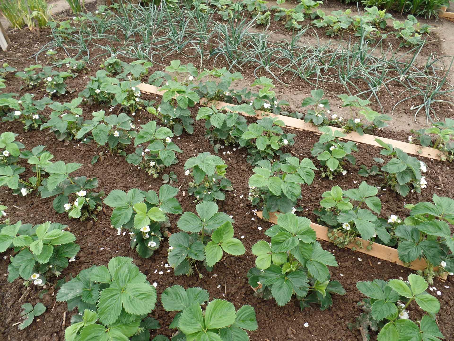 Piante Adatte Al Sole Diretto la moltiplicazione delle fragole - stocker garden