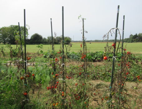 Piante di pomodoro a fine ciclo