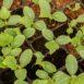 Piantine di cetriolo