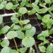 Piantine di zucchine