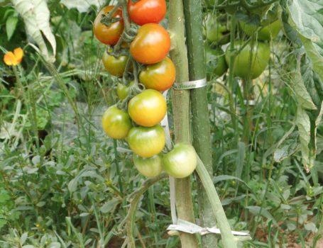 Grappolo di pomodori