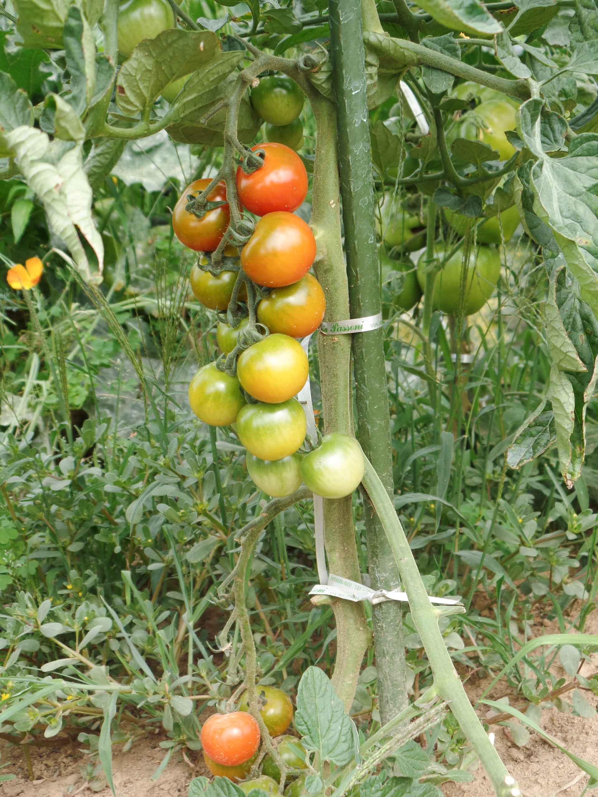Sostegni Per Pomodori In Vaso la sfemminellatura dei pomodori - stocker garden