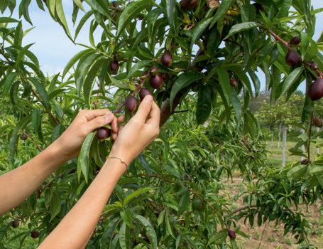 Diradamento dei frutti