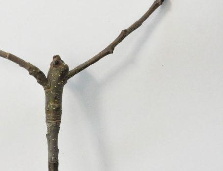 Ramo di 1 anno su ramo di 2 anni inserito su lamburda