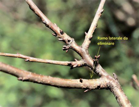 Ramo laterale del ciliegio