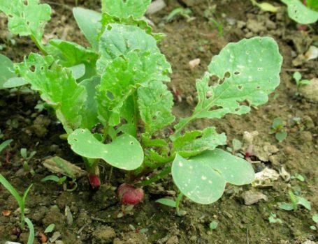 Ravanelli con foglie danneggiate dalle altiche
