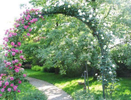 Rosa rampicante ad arco - reazione della potatura a maggio