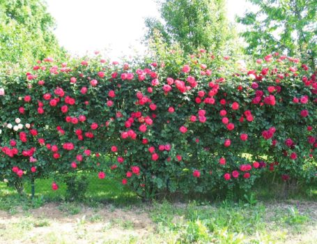 Rose su recinzione