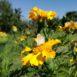 Farfalla su tagete giallo
