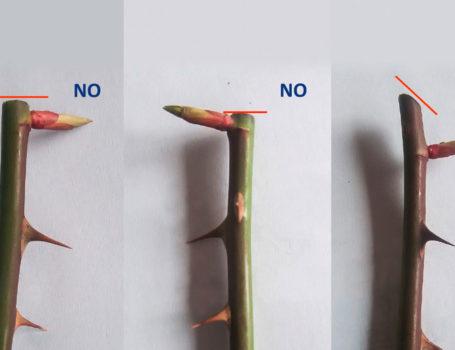 Il taglio corretto nella potatura della rosa