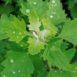 Farinaccio - Erba spontanea negli orti a primavera