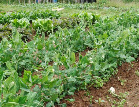 Piselli coltivati in file