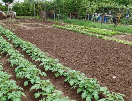 Coltivazione di patate nell'orto