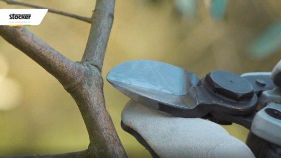 Foto: Thumbnail - Come potare l'olivo - Rispettare il collare