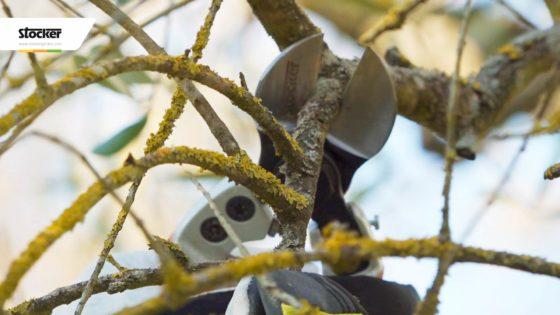 Foto: Thumbnail: Come potare l'olivo - I tagli sulle branche a frutto